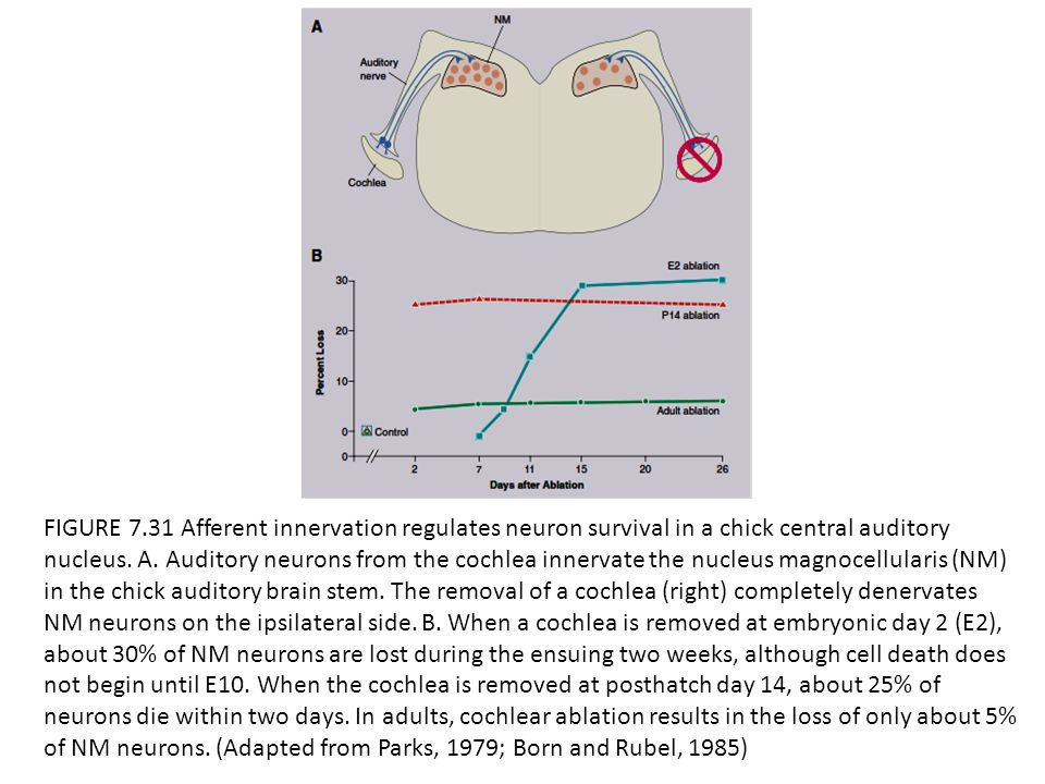 FIGURE 7.31 Afferent innervation regulates neuron survival in a chick central auditory nucleus. A. Auditory neurons from the cochlea innervate the nuc