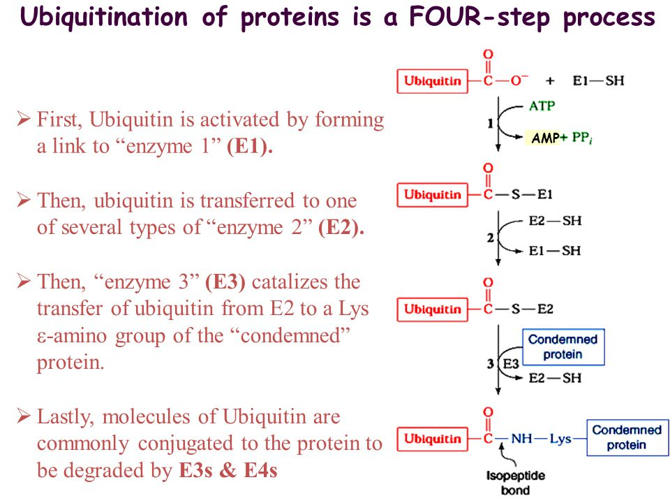 Ubiquitination of proteins is a FOUR-step process  First, Ubiquitin is activated by forming a link to enzyme 1 (E1).