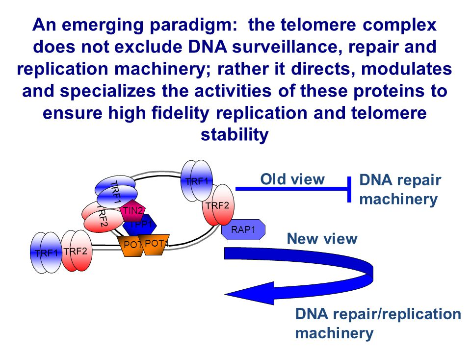 The telomere hypothesis Population Doubling Time Telomere Length Senescence 123456
