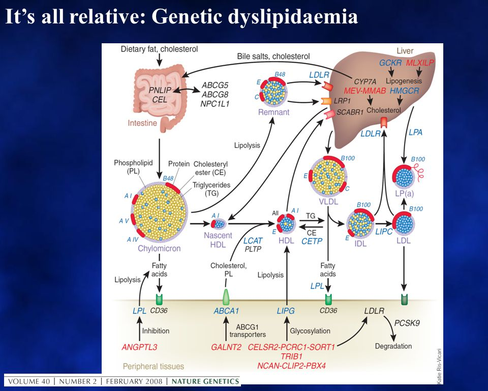 CVD risk factors, and especially lipid metabolism, exemplify gene / environment interactions Mainly genetic Co-dominant mutations: Either genetic allele affected Recessive mutations: Both genetic alleles affected Polymorphisms and SNPs: A lleles consistent with normal and markers in proximity to significant genetic effects.
