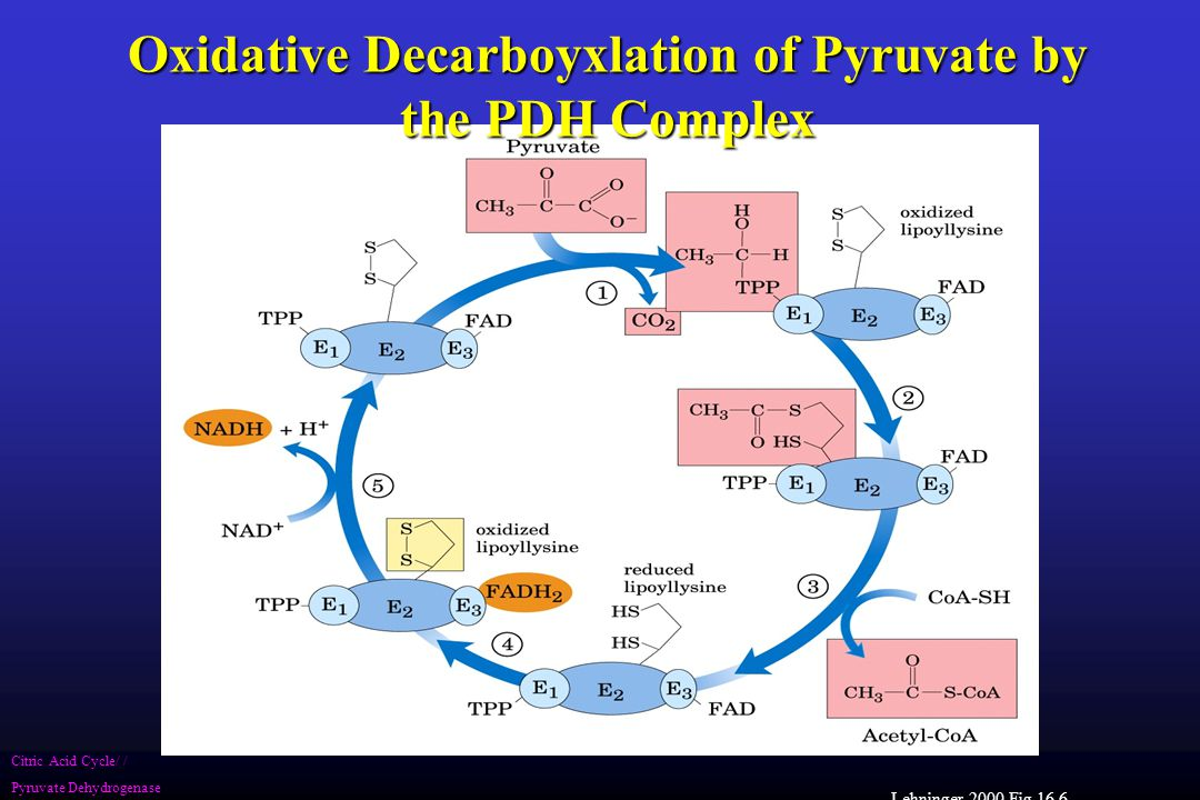 Lehninger 2000 Fig 16.6 Citric Acid Cycle/ / Pyruvate Dehydrogenase Oxidative Decarboyxlation of Pyruvate by the PDH Complex