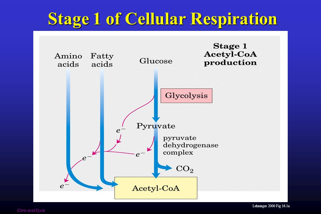 Lehninger 2000 Fig 16.1a Stage 1 of Cellular Respiration Citric Acid Cycle