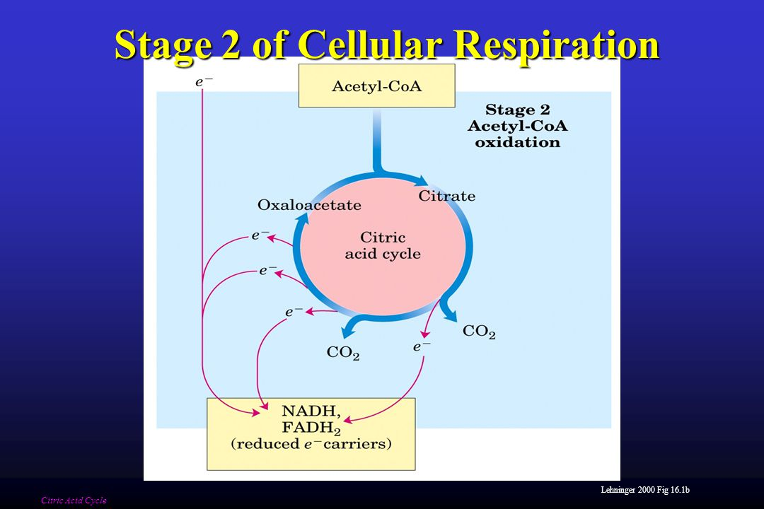 Lehninger 2000 Fig 16.1b Stage 2 of Cellular Respiration Citric Acid Cycle