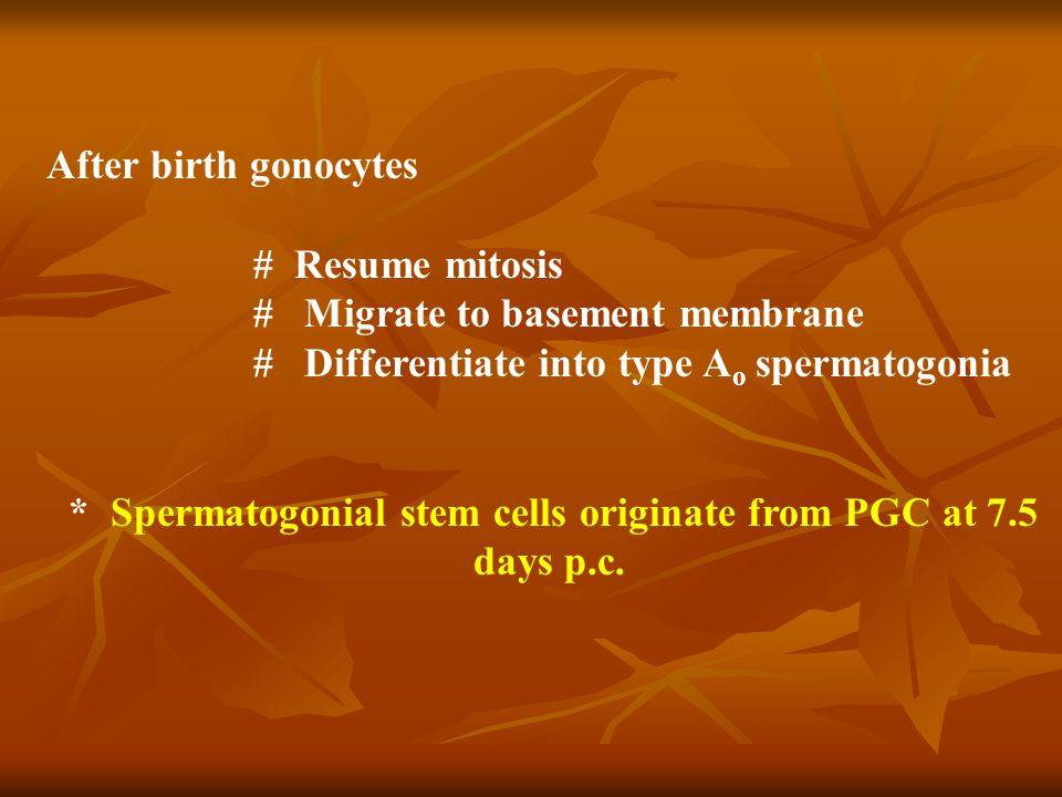 After birth gonocytes # Resume mitosis # Migrate to basement membrane # Differentiate into type A o spermatogonia * Spermatogonial stem cells originate from PGC at 7.5 days p.c.