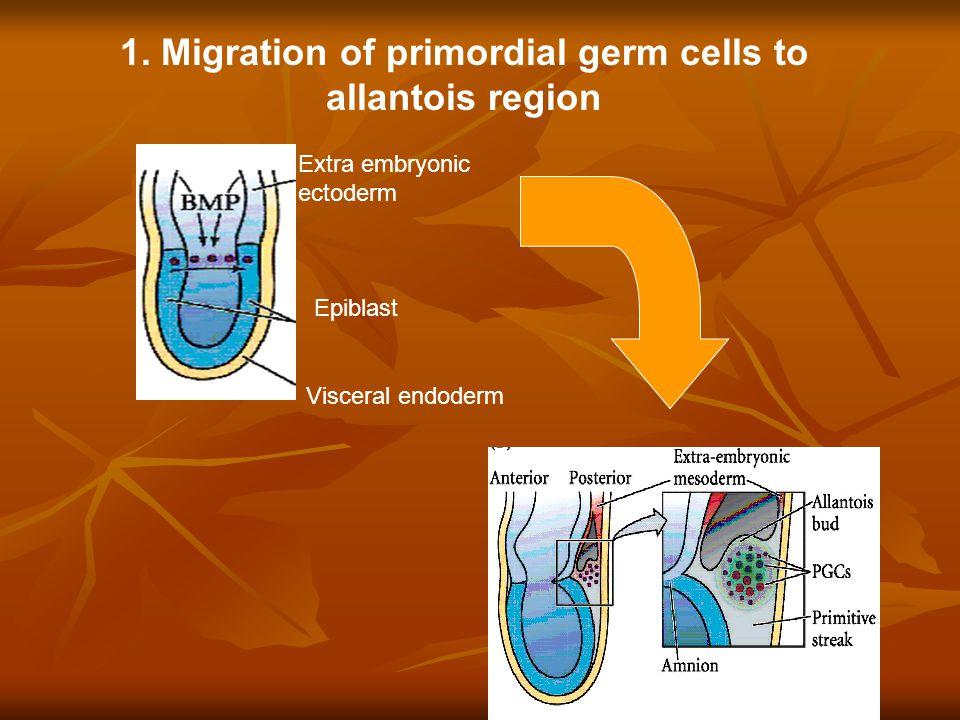 Extra embryonic ectoderm Epiblast Visceral endoderm 1.