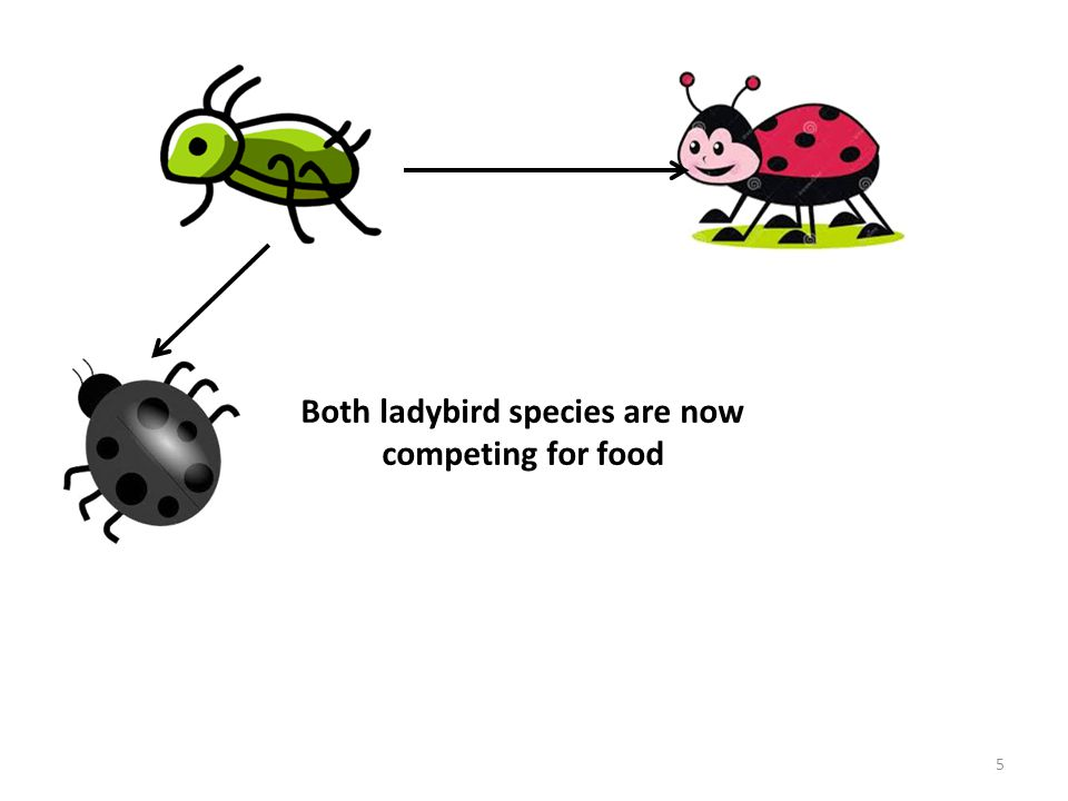 Both ladybird species are now competing for food 5
