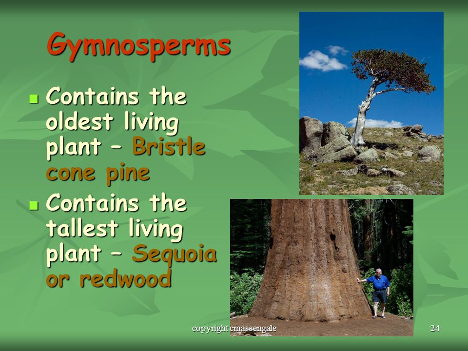 24 Gymnosperms Contains the oldest living plant – Bristle cone pine Contains the oldest living plant – Bristle cone pine Contains the tallest living plant – Sequoia or redwood Contains the tallest living plant – Sequoia or redwood copyright cmassengale