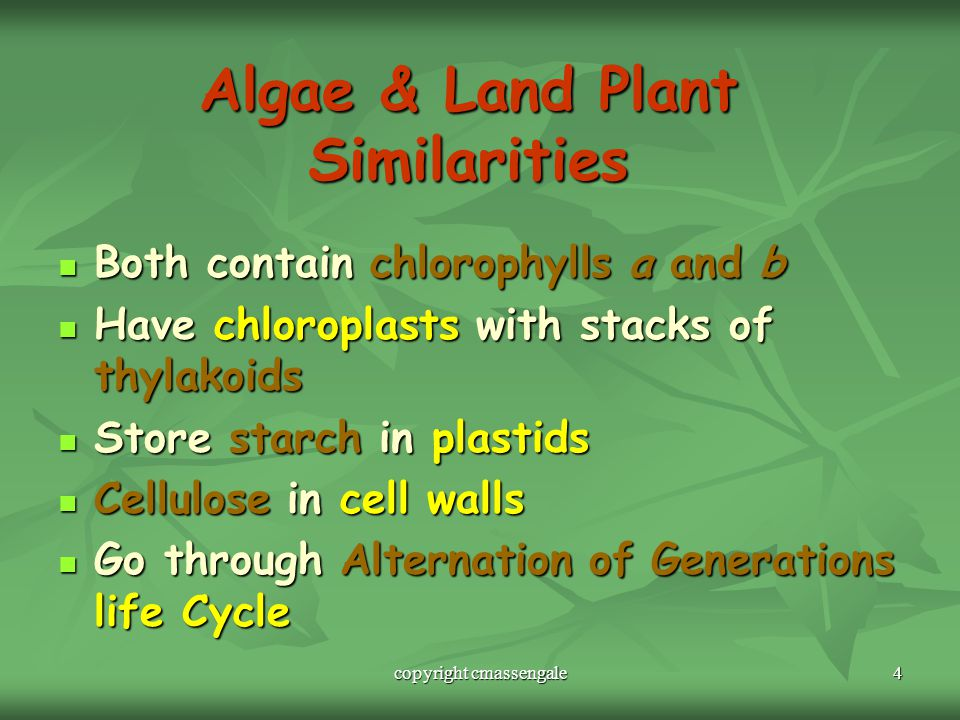 4 Algae & Land Plant Similarities Both contain chlorophylls a and b Both contain chlorophylls a and b Have chloroplasts with stacks of thylakoids Have chloroplasts with stacks of thylakoids Store starch in plastids Store starch in plastids Cellulose in cell walls Cellulose in cell walls Go through Alternation of Generations life Cycle Go through Alternation of Generations life Cycle copyright cmassengale