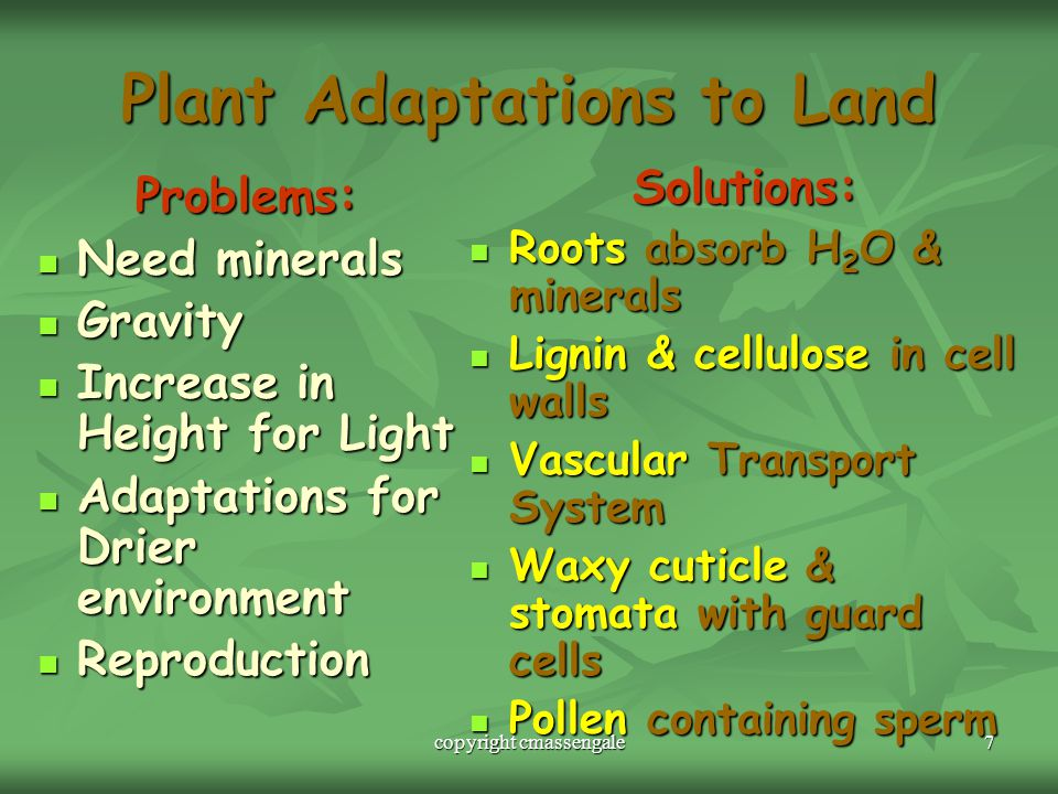 7 Plant Adaptations to Land Problems: Need minerals Need minerals Gravity Gravity Increase in Height for Light Increase in Height for Light Adaptations for Drier environment Adaptations for Drier environment Reproduction Reproduction Solutions: Roots absorb H 2 O & minerals Roots absorb H 2 O & minerals Lignin & cellulose in cell walls Lignin & cellulose in cell walls Vascular Transport System Vascular Transport System Waxy cuticle & stomata with guard cells Waxy cuticle & stomata with guard cells Pollen containing sperm Pollen containing sperm copyright cmassengale