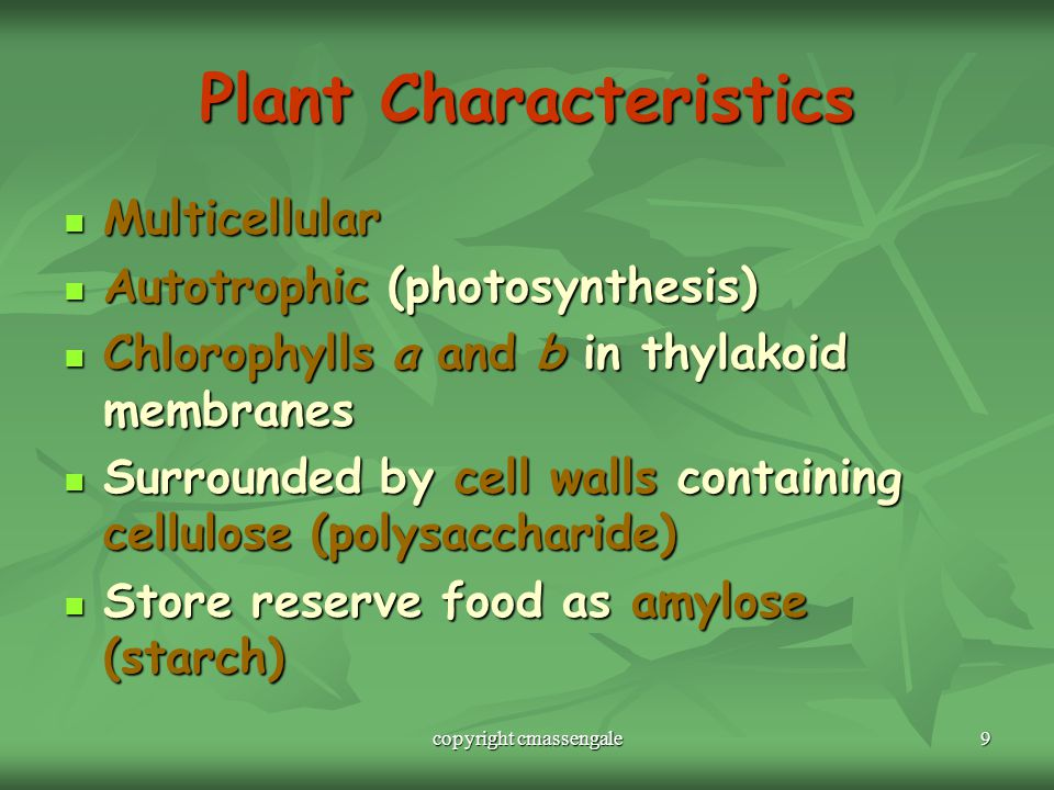 9 Plant Characteristics Multicellular Multicellular Autotrophic (photosynthesis) Autotrophic (photosynthesis) Chlorophylls a and b in thylakoid membranes Chlorophylls a and b in thylakoid membranes Surrounded by cell walls containing cellulose (polysaccharide) Surrounded by cell walls containing cellulose (polysaccharide) Store reserve food as amylose (starch) Store reserve food as amylose (starch) copyright cmassengale