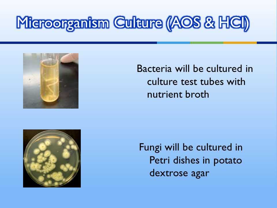 Bacteria will be cultured in culture test tubes with nutrient broth Fungi will be cultured in Petri dishes in potato dextrose agar