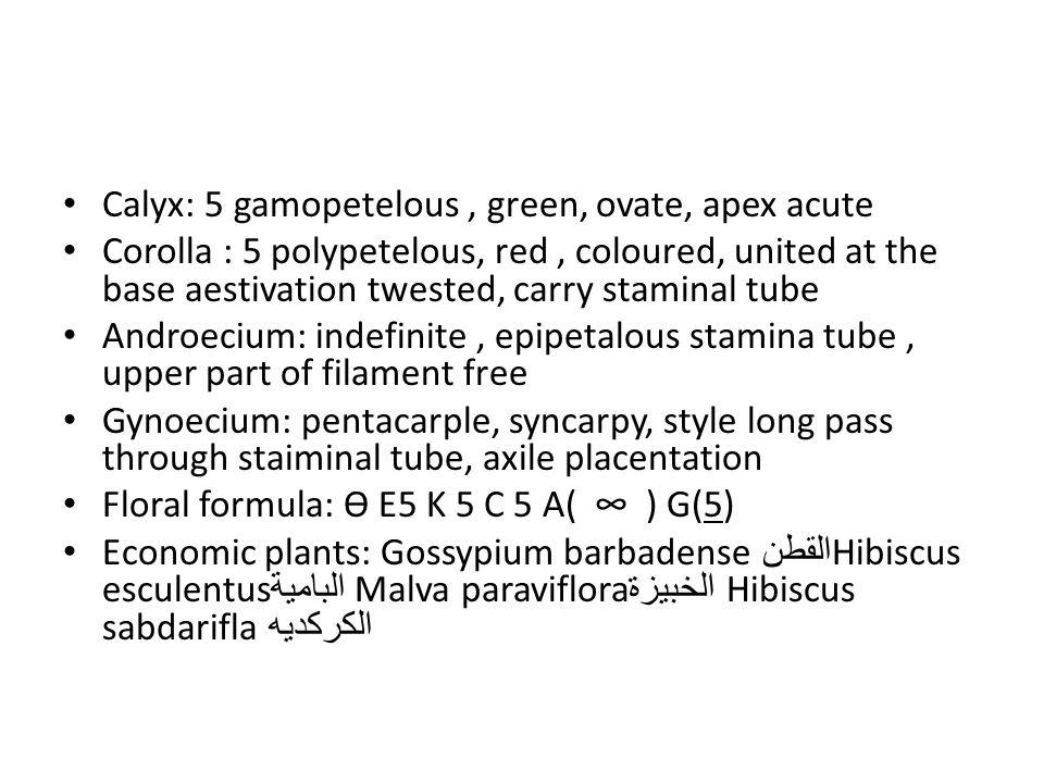Calyx: 5 gamopetelous, green, ovate, apex acute Corolla : 5 polypetelous, red, coloured, united at the base aestivation twested, carry staminal tube Androecium: indefinite, epipetalous stamina tube, upper part of filament free Gynoecium: pentacarple, syncarpy, style long pass through staiminal tube, axile placentation Floral formula: Ө E5 K 5 C 5 A( ∞ ) G(5) Economic plants: Gossypium barbadense القطن Hibiscus esculentus البامية Malva paraviflora الخبيزة Hibiscus sabdarifla الكركديه