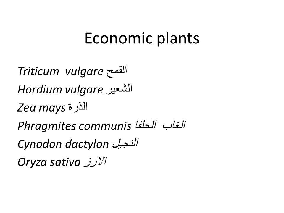 Economic plants Triticum vulgare القمح Hordium vulgare الشعير Zea mays الذرة Phragmites communis الغاب الحلفا Cynodon dactylon النجيل Oryza sativa الارز