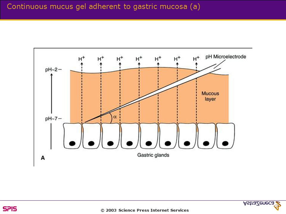© 2003 Science Press Internet Services Continuous mucus gel adherent to gastric mucosa (a)