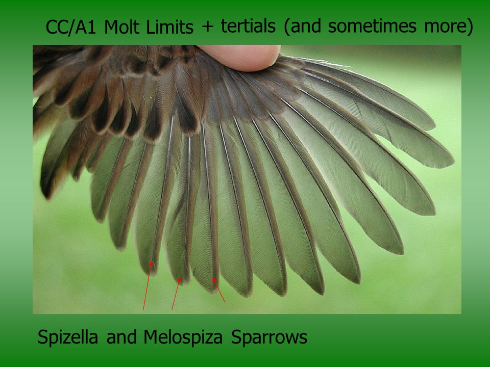 CC/A1 Molt Limits Spizella and Melospiza Sparrows + tertials (and sometimes more)