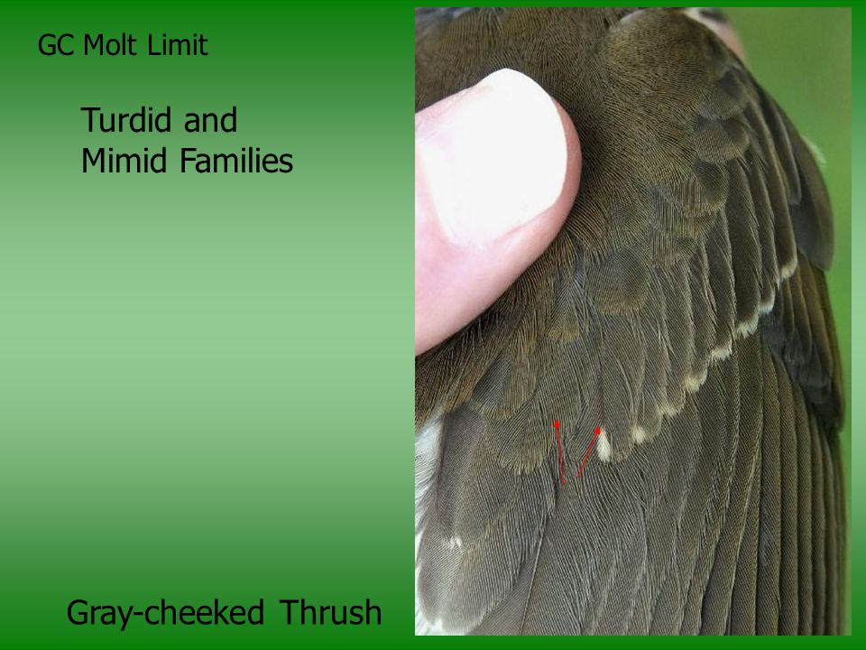 GC Molt Limit Turdid and Mimid Families Gray-cheeked Thrush