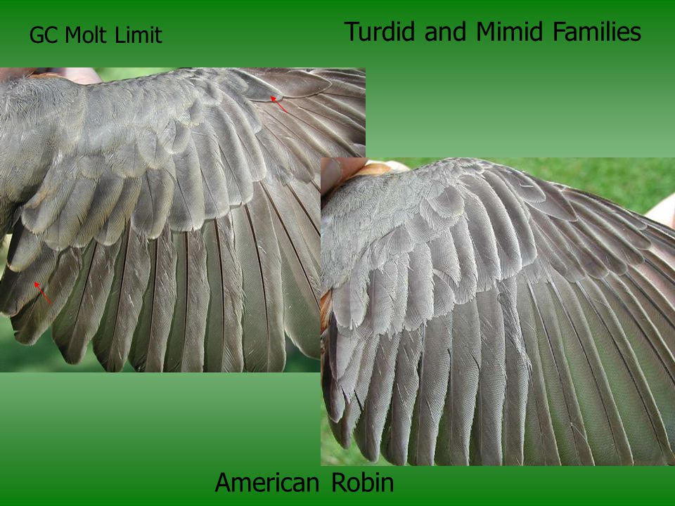 GC Molt Limit Turdid and Mimid Families American Robin