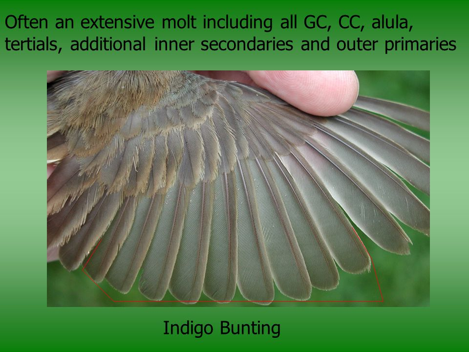 Often an extensive molt including all GC, CC, alula, tertials, additional inner secondaries and outer primaries Indigo Bunting