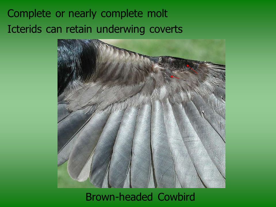 Complete or nearly complete molt Icterids can retain underwing coverts Brown-headed Cowbird