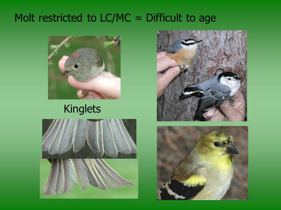 Molt restricted to LC/MC = Difficult to age Kinglets