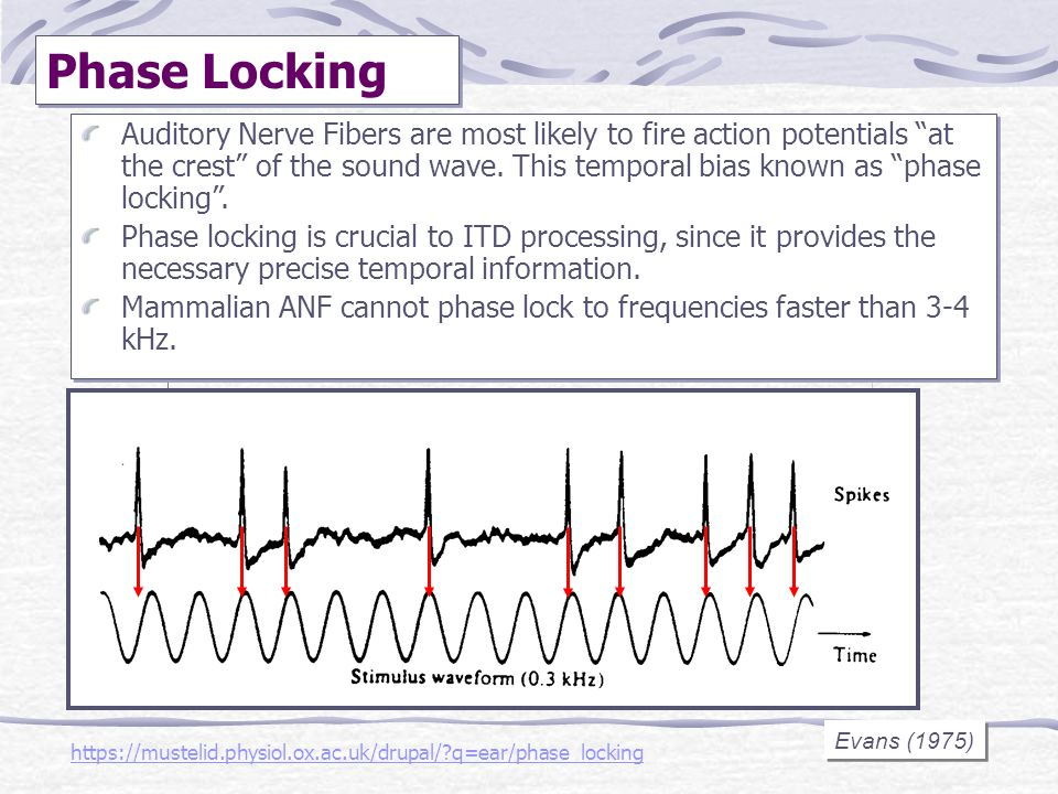 Evans (1975) Phase Locking https://mustelid.physiol.ox.ac.uk/drupal/?q=ear/phase_locking Auditory Nerve Fibers are most likely to fire action potentia