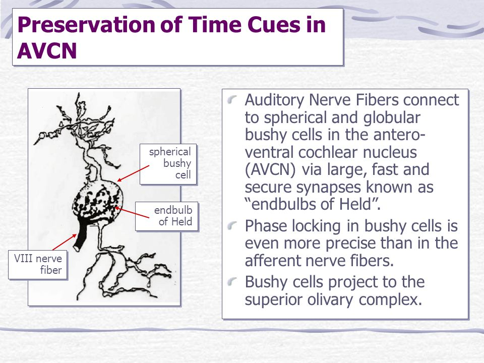 Preservation of Time Cues in AVCN Auditory Nerve Fibers connect to spherical and globular bushy cells in the antero- ventral cochlear nucleus (AVCN) v