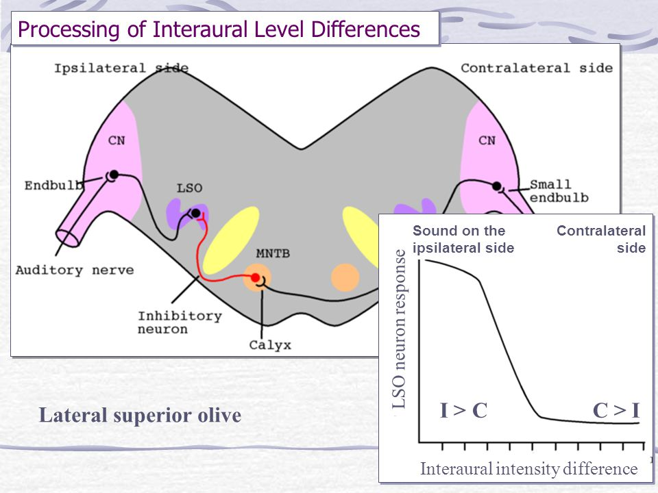 Processing of Interaural Level Differences Interaural intensity difference LSO neuron response Sound on the ipsilateral side Contralateral side C > II
