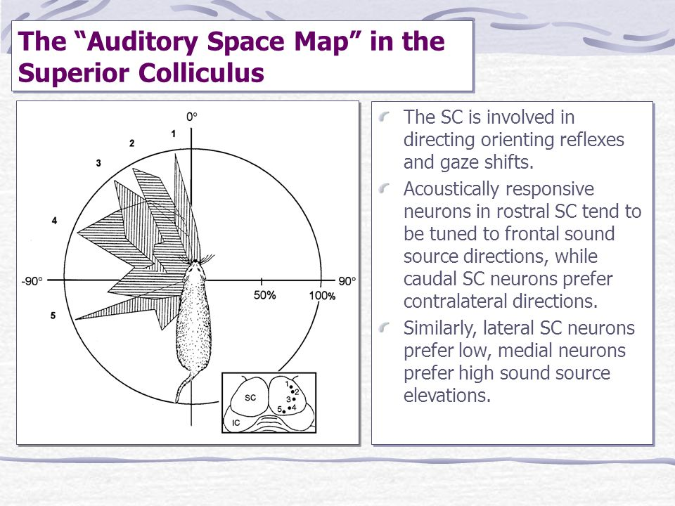 """The """"Auditory Space Map"""" in the Superior Colliculus The SC is involved in directing orienting reflexes and gaze shifts. Acoustically responsive neuron"""