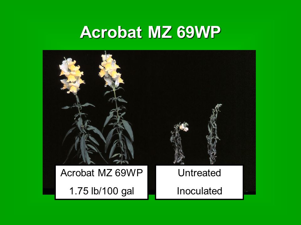 Acrobat MZ 69WP Untreated Inoculated Acrobat MZ 69WP 1.75 lb/100 gal