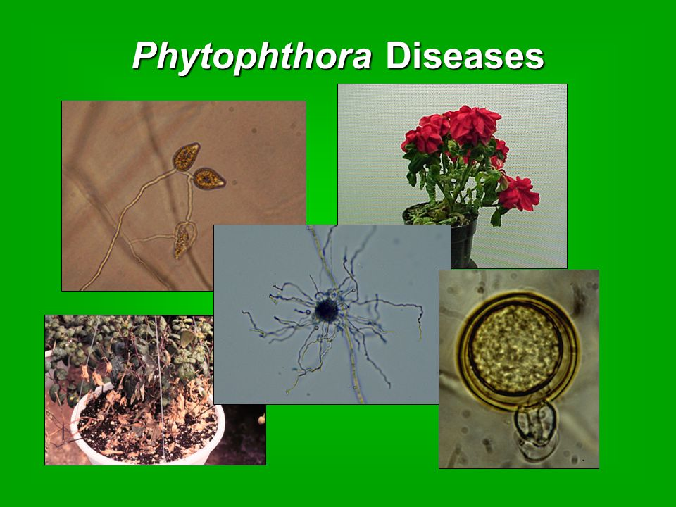 Phytophthora Diseases
