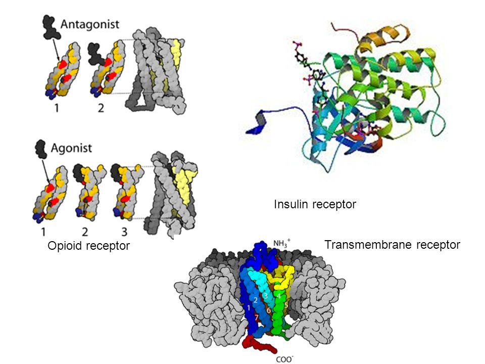 Opioid receptor Insulin receptor Transmembrane receptor