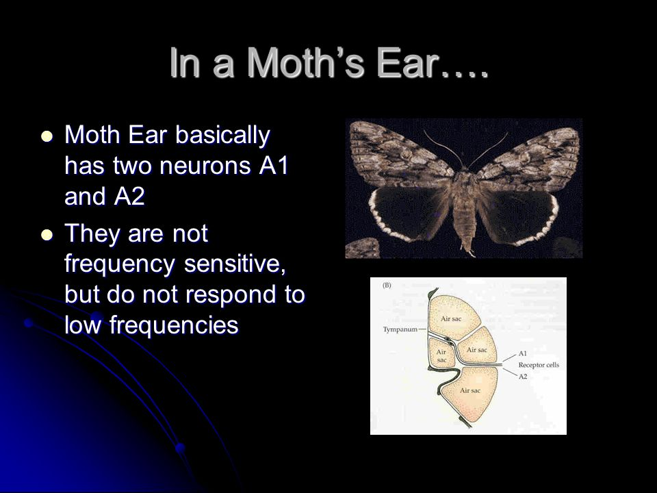 In a Moth's Ear….
