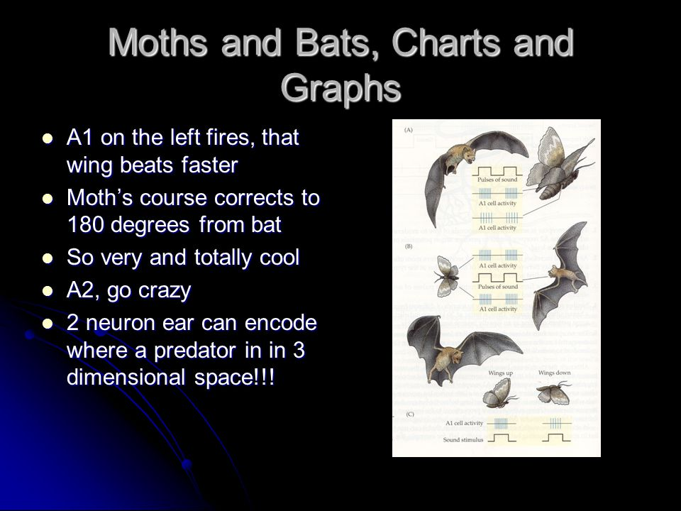 Moths and Bats, Charts and Graphs A1 on the left fires, that wing beats faster A1 on the left fires, that wing beats faster Moth's course corrects to 180 degrees from bat Moth's course corrects to 180 degrees from bat So very and totally cool So very and totally cool A2, go crazy A2, go crazy 2 neuron ear can encode where a predator in in 3 dimensional space!!.