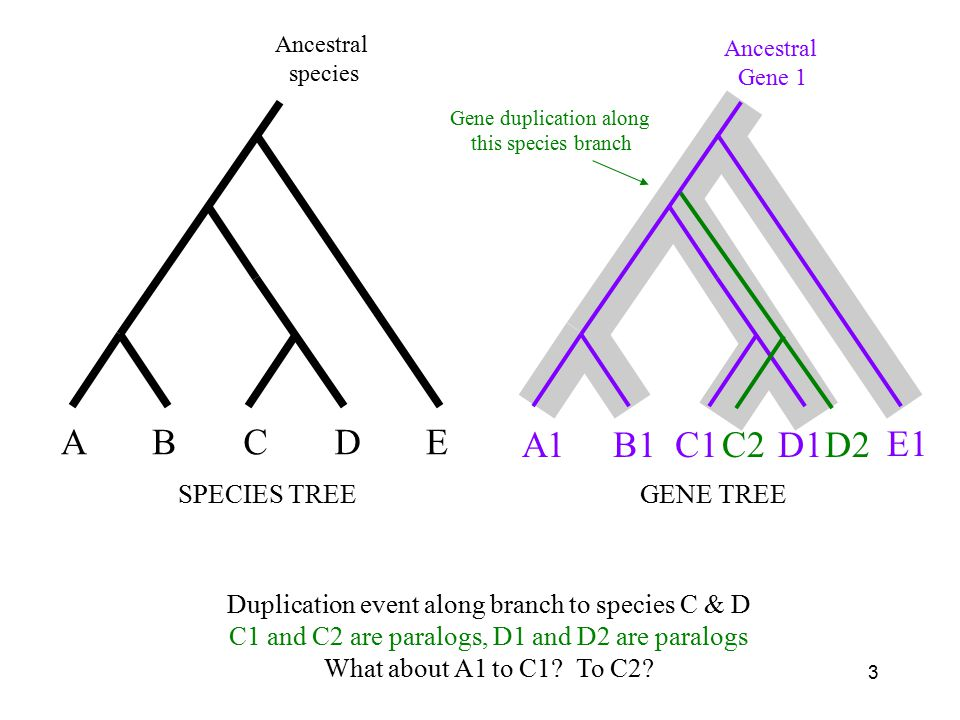 3 A1B1C1D1 E1 GENE TREE Ancestral Gene 1 C2D2 ABCDE SPECIES TREE Ancestral species Duplication event along branch to species C & D C1 and C2 are paralogs, D1 and D2 are paralogs What about A1 to C1.