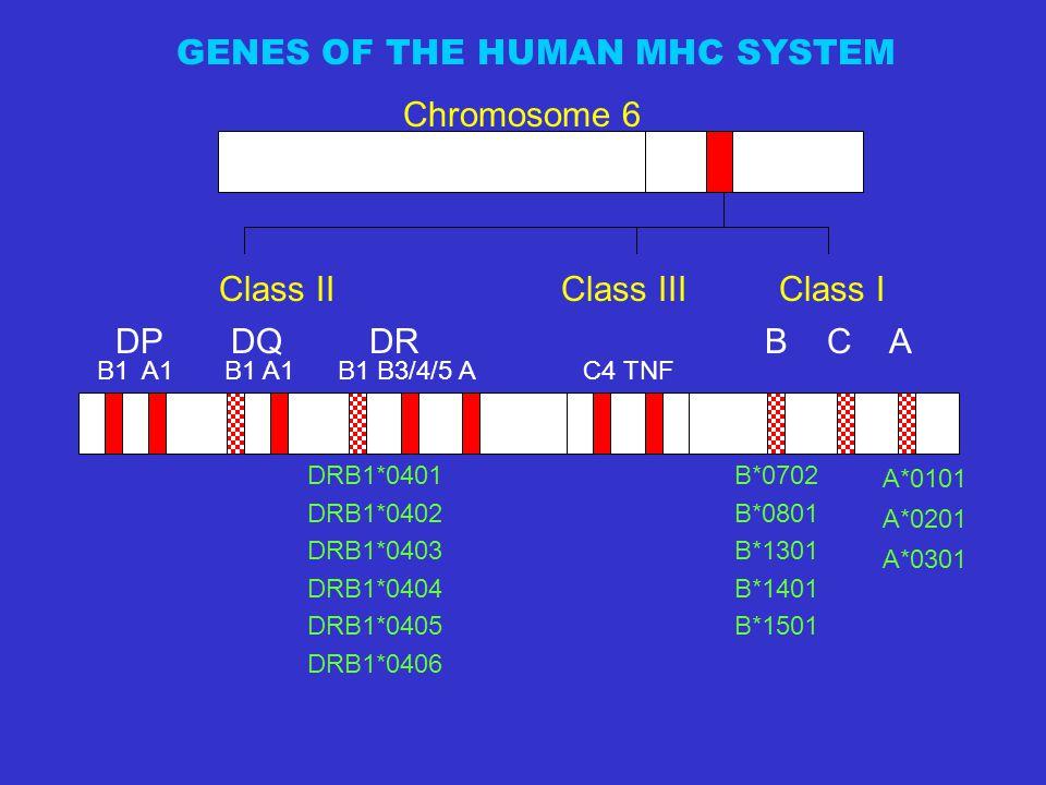 Class II Class III Class I Chromosome 6 B1 A1 B1 A1 B1 B3/4/5 A C4 TNF DP DQ DR B C A DRB1*0401 DRB1*0402 DRB1*0403 DRB1*0404 DRB1*0405 DRB1*0406 B*0702 B*0801 B*1301 B*1401 B*1501 A*0101 A*0201 A*0301 GENES OF THE HUMAN MHC SYSTEM