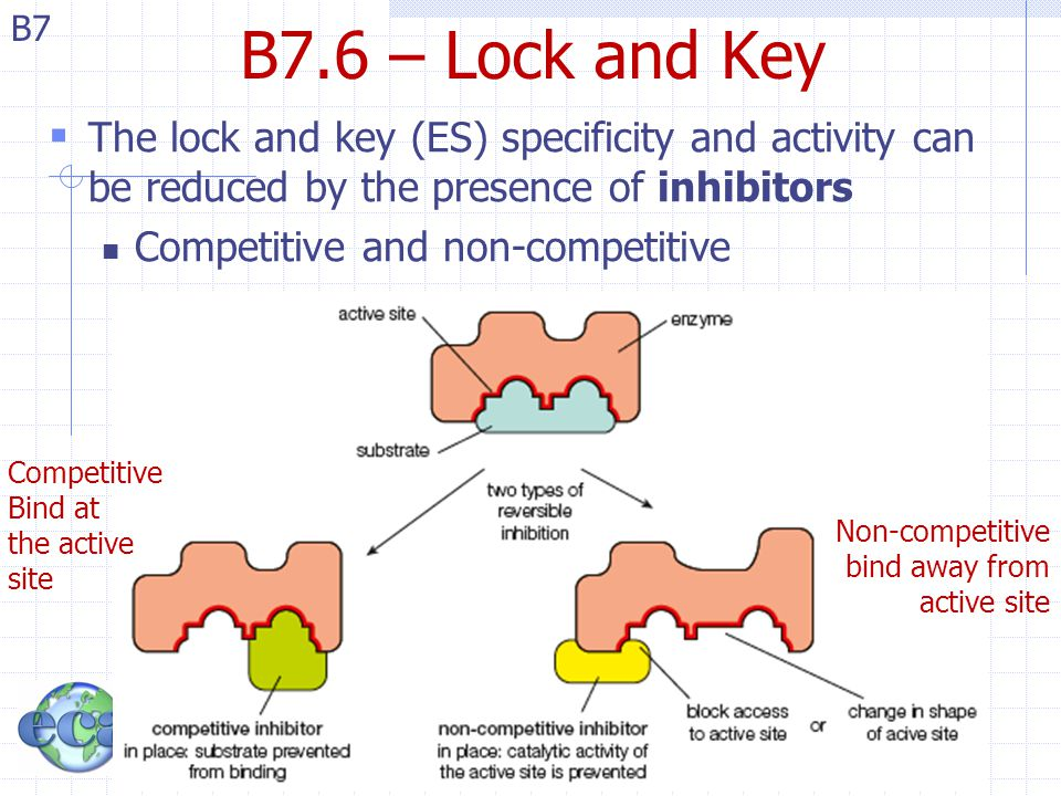 B7 B7.6 – Lock and Key  The lock and key (ES) specificity and activity can be reduced by the presence of inhibitors Competitive and non-competitive C