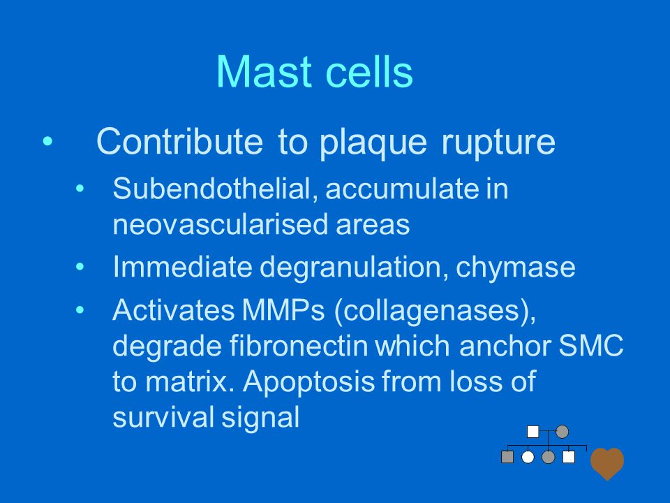 Mast cells Contribute to plaque rupture Subendothelial, accumulate in neovascularised areas Immediate degranulation, chymase Activates MMPs (collagenases), degrade fibronectin which anchor SMC to matrix.
