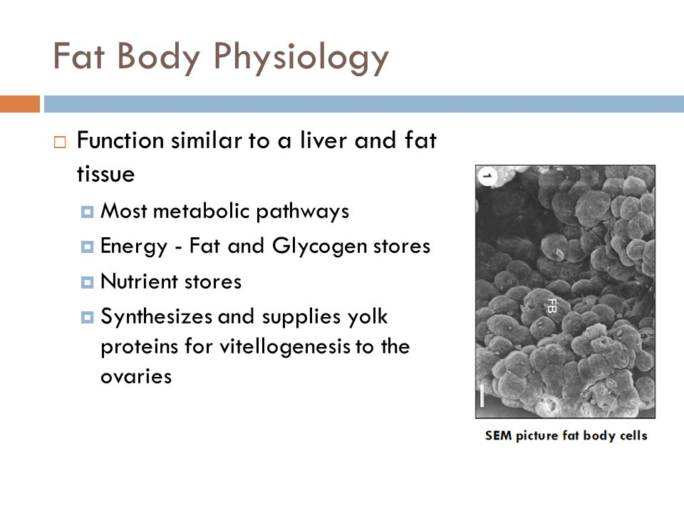 Fat Body Physiology  Function similar to a liver and fat tissue  Most metabolic pathways  Energy - Fat and Glycogen stores  Nutrient stores  Synthesizes and supplies yolk proteins for vitellogenesis to the ovaries