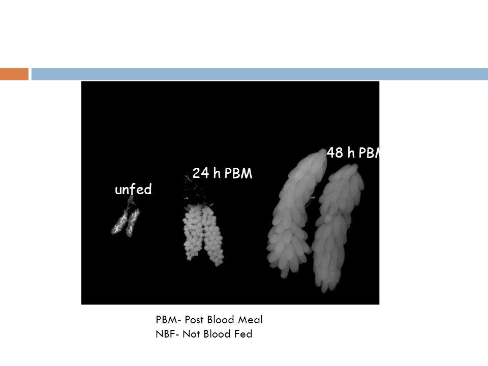 unfed 24 h PBM 48 h PBM PBM- Post Blood Meal NBF- Not Blood Fed