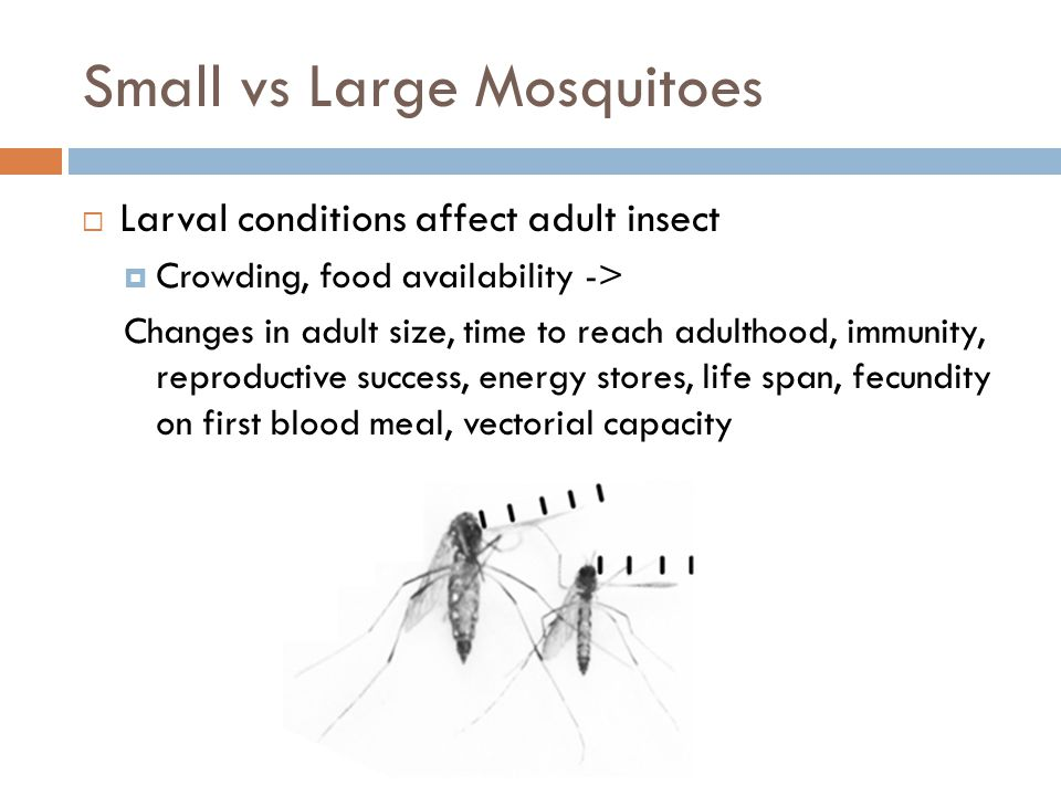 Small vs Large Mosquitoes  Larval conditions affect adult insect  Crowding, food availability -> Changes in adult size, time to reach adulthood, immunity, reproductive success, energy stores, life span, fecundity on first blood meal, vectorial capacity