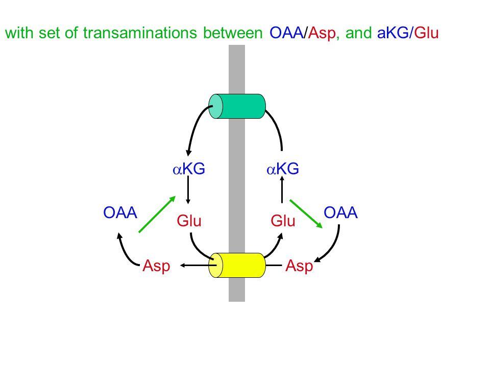 with set of transaminations between OAA/Asp, and aKG/Glu OAA Asp  KG Glu