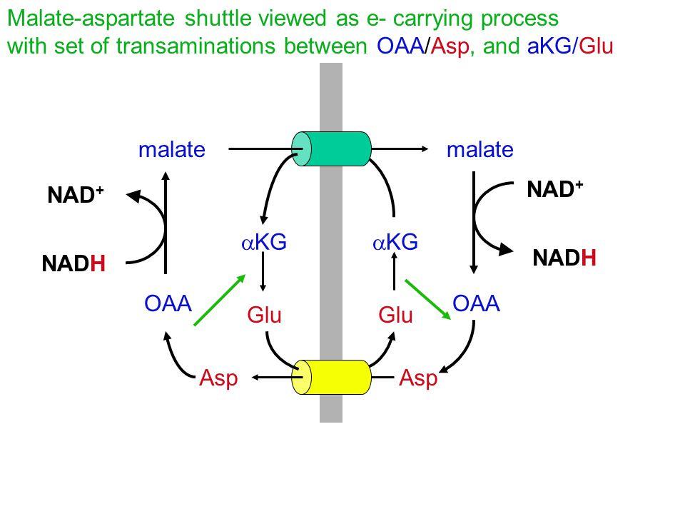 Malate-aspartate shuttle viewed as e- carrying process with set of transaminations between OAA/Asp, and aKG/Glu malate NADH NAD + NADH NAD + OAA Asp  KG Glu