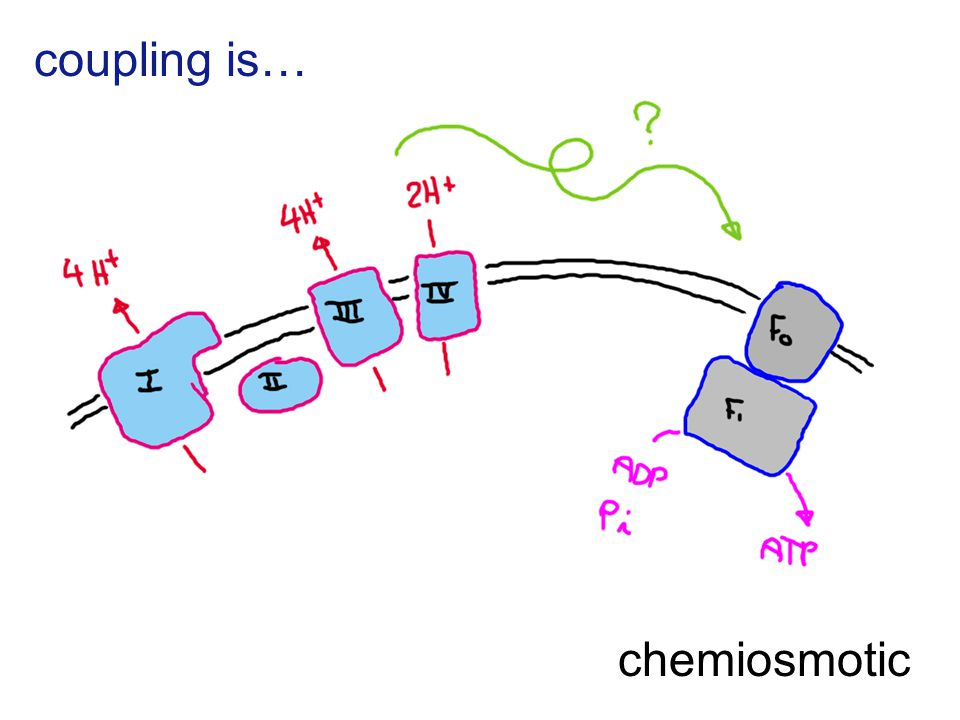 coupling is… chemiosmotic
