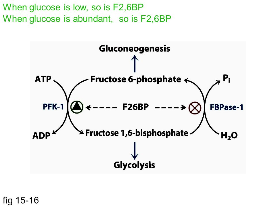 fig 15-16 When glucose is low, so is F2,6BP When glucose is abundant, so is F2,6BP