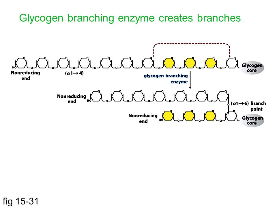 fig 15-31 Glycogen branching enzyme creates branches
