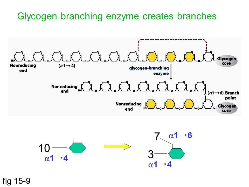 fig 15-9 Glycogen branching enzyme creates branches 10  1 4 3 7  1 6  1 4