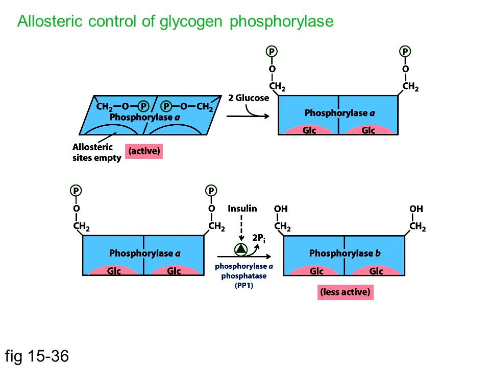 fig 15-36 Allosteric control of glycogen phosphorylase