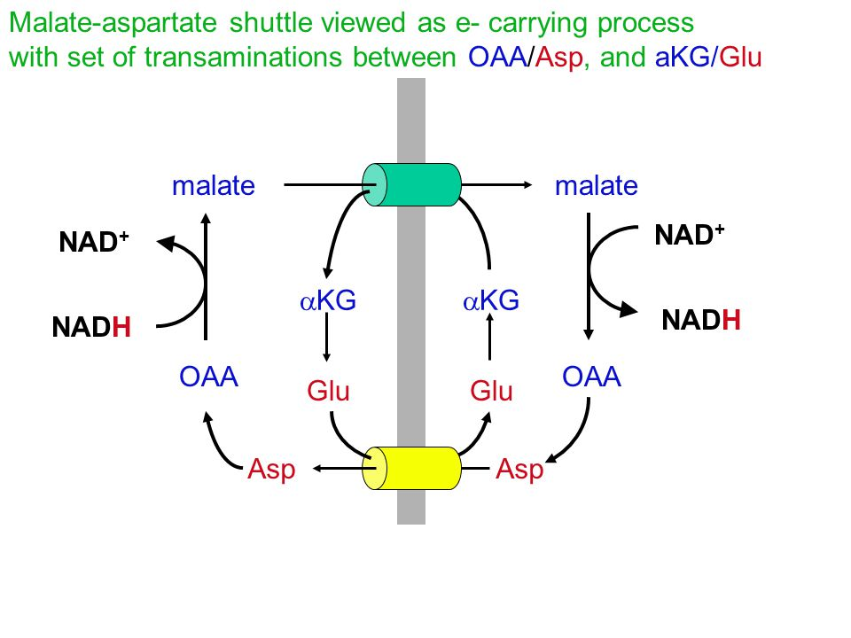 Malate-aspartate shuttle viewed as e- carrying process with set of transaminations between OAA/Asp, and aKG/Glu malate NADH NAD + NADH NAD + OAA Asp 