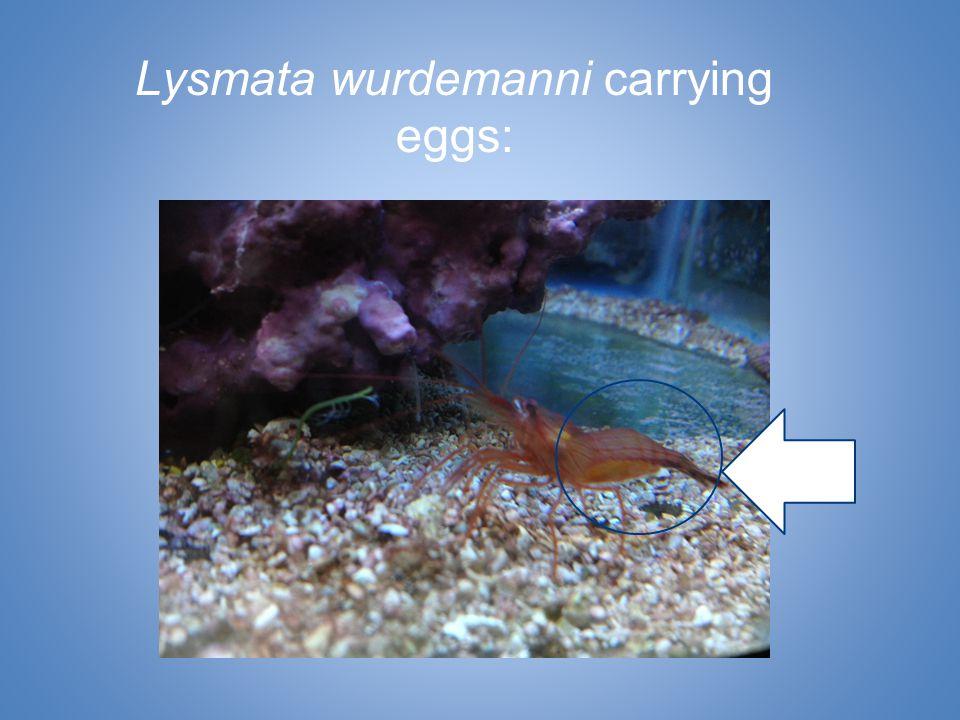 Lysmata wurdemanni carrying eggs: