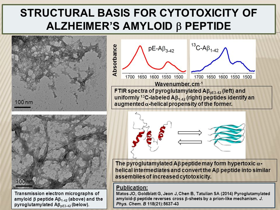 STRUCTURAL BASIS FOR CYTOTOXICITY OF ALZHEIMER'S AMYLOID  PEPTIDE Transmission electron micrographs of amyloid  peptide A  1-42 (above) and the pyr